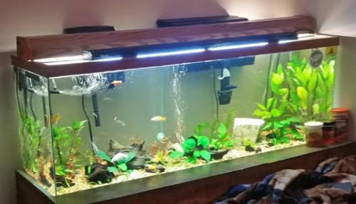 molly fish tank